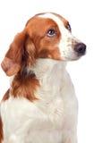 Perro de caza agradable Fotos de archivo libres de regalías