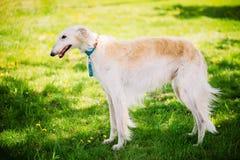 Perro de caza blanco de Gazehound que permanece al aire libre en el verde Gras del verano imágenes de archivo libres de regalías