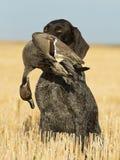 Perro de caza con un pato Foto de archivo libre de regalías