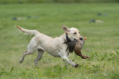Perro de caza corriente Imágenes de archivo libres de regalías