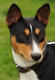 Perro de caza de Basenji Imágenes de archivo libres de regalías