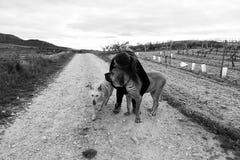 Perro de caza del abarcamiento de la mujer Fotografía de archivo libre de regalías