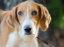 Perro de caza del Coonhound Fotos de archivo libres de regalías