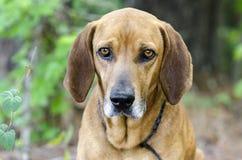 Perro de caza del Coonhound de Redbone, foto de la adopción del animal doméstico del refugio para animales Imagenes de archivo