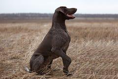Perro de caza del indicador fotos de archivo