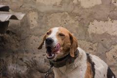 Perro de caza el vacaciones Fotos de archivo
