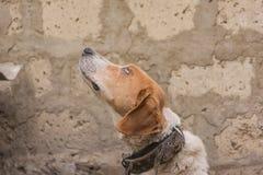 Perro de caza el vacaciones Fotos de archivo libres de regalías