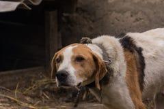Perro de caza el vacaciones Foto de archivo libre de regalías