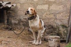 Perro de caza el vacaciones Fotografía de archivo libre de regalías