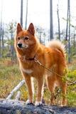 Perro de caza en el árbol caido Imagen de archivo