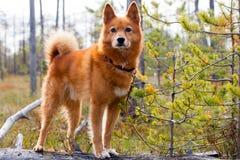 Perro de caza en el pantano fotografía de archivo