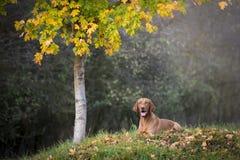 Perro de caza húngaro en otoño Foto de archivo libre de regalías