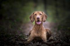 Perro de caza húngaro en tiempo del otoño fotografía de archivo libre de regalías