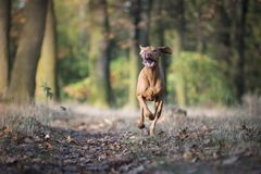 Perro de caza húngaro en tiempo del otoño fotos de archivo