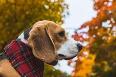 Perro de caza hermoso del beagle en el fondo del bosque del otoño imagen de archivo