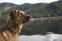 Perro de caza listo para extraer Fotos de archivo libres de regalías