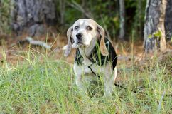 Perro de caza mayor de la caza del conejo del beagle Fotografía de archivo libre de regalías