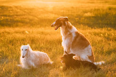 Perro de caza mezclado negro de la raza y galgos rusos rusos de los galgos, BO Foto de archivo libre de regalías
