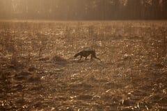 Perro de caza que corre a través del campo imagenes de archivo