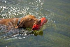 Perro de caza que extrae el maniquí del agua Fotos de archivo