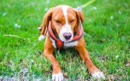 Perro de caza rociado por la mofeta Foto de archivo libre de regalías