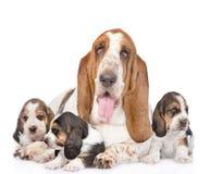 Perro de caza y perritos adultos del afloramiento Aislado en el fondo blanco Imagen de archivo