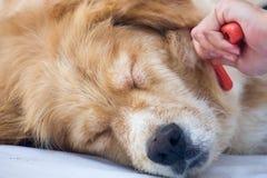 Perro de cepillado del golden retriever de la piel Imágenes de archivo libres de regalías