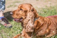 Perro de cocker spaniel fotografía de archivo libre de regalías