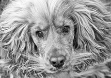 Perro de cocker spaniel blanco y negro Imagenes de archivo