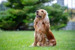 Perro de cocker spaniel del americano en el parque imagen de archivo libre de regalías