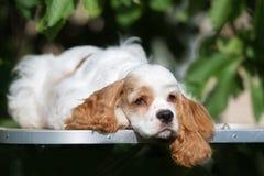 Perro de cocker spaniel del americano que se acuesta al aire libre foto de archivo