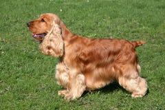 Perro de cocker spaniel del inglés fotos de archivo libres de regalías