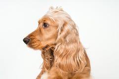 Perro de cocker spaniel del inglés aislado en blanco imagen de archivo libre de regalías