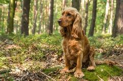 Perro de cocker spaniel del inglés en el bosque foto de archivo