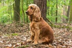 Perro de cocker spaniel del inglés en el bosque imagenes de archivo