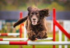 Perro de cocker spaniel que hace agilidad Imagenes de archivo