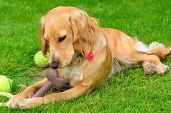 Perro de cocker spaniel que mastica su hueso en el jardín foto de archivo