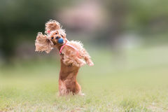 Perro de cocker spaniel que salta y que bloquea una bola Imagen de archivo