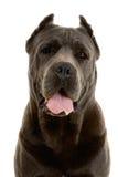 Perro de Corso del bastón imagenes de archivo