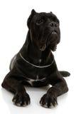 Perro de Corso del bastón imágenes de archivo libres de regalías