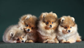 Perro de cuatro Pomeranian fotografía de archivo