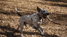 Perro de Dalmation que corre con un pedazo de madera en un campo Perro dálmata con un palillo, cámara lenta metrajes