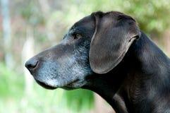 Perro de Deutsch Kurzhaar en jardín Imagen de archivo libre de regalías