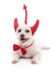 Perro de diablo Imagen de archivo libre de regalías