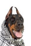 Perro de Dobermann en kufiya negro Foto de archivo libre de regalías