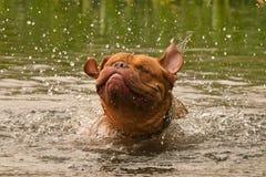 Perro de Dogue De Bordeaux que tiene buena sacudida imagen de archivo