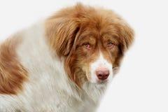 Perro de Domestig Fotografía de archivo