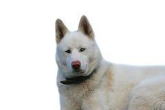 Perro de Domestig Imagen de archivo libre de regalías