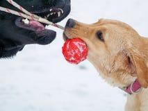 Perro de dos Labrador que juega con el juguete rojo en nieve Fotos de archivo