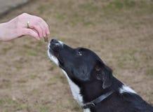 Perro de enseñanza con las invitaciones Imagen de archivo libre de regalías